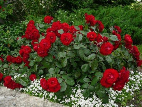 Роза - царица цветов