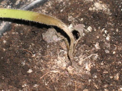 Чёрная ножка - бич огородников