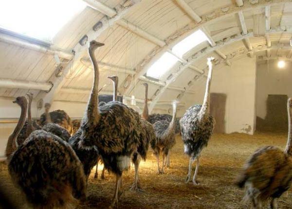 Стойловое сожержание страусов