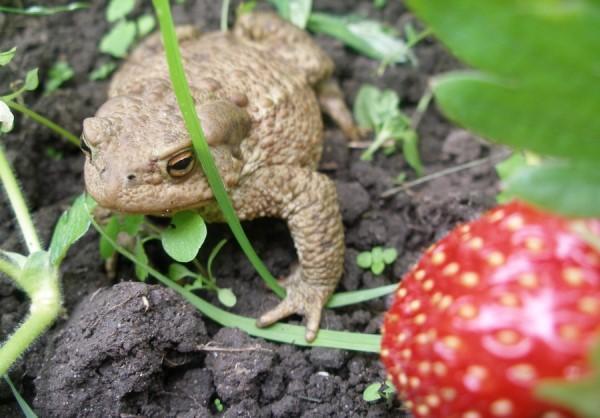 Лягушка поедает слизней