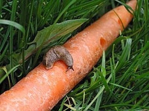 Морковь, поеденная слизнями