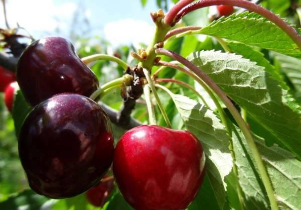 Сортовая вишня