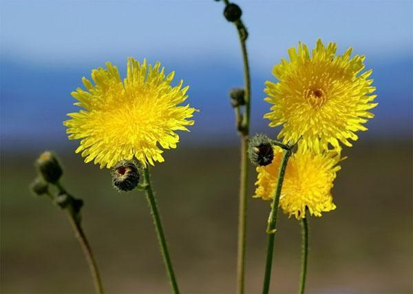 цветет осот