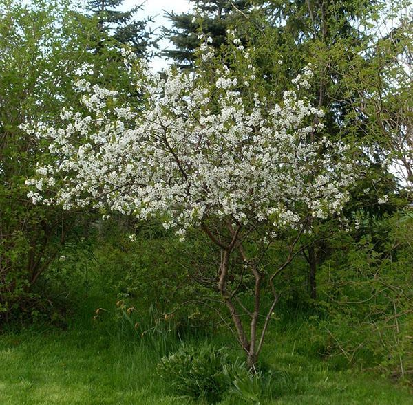 цветет вишня молодежная