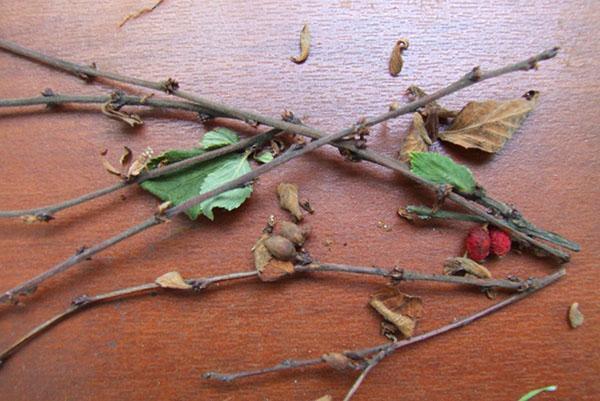 гибнет войлочная вишня