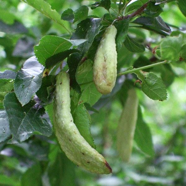 кармашковая болезнь войлочной вишни