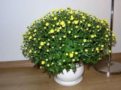 хризантема в горшке