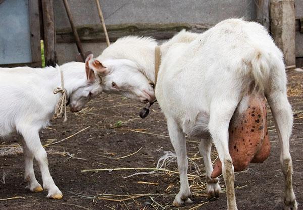 Забит сосок у козы