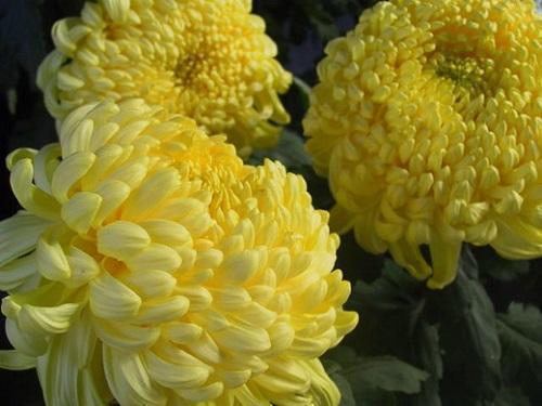 крупная желтая хризантема