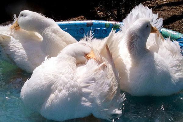 купаются утки