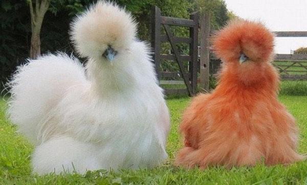 курица китайская шелковая