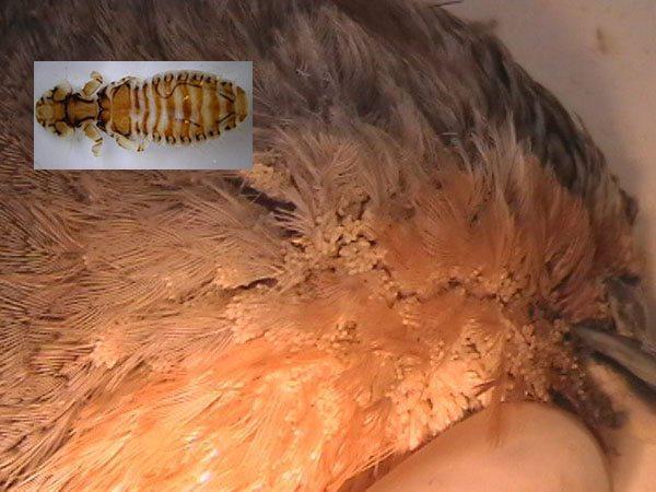маллофагоз