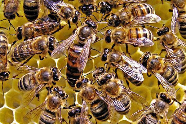 матка и рабочие пчелы