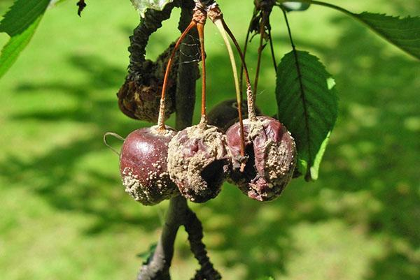 Болезни войлочной вишни - описание с фотографиями и способы лечения монилиоза, почему сохнет вишня после цветения, видео