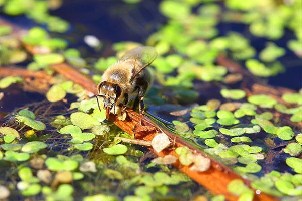 пчела пьет воду