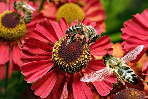 пчелы на клумбе
