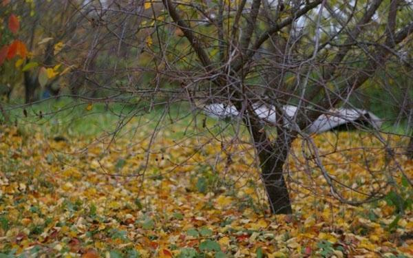 раннее опадание листвы