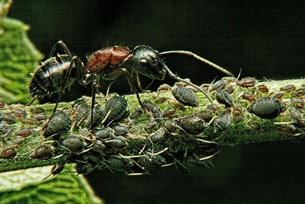 распространитель тли муравей