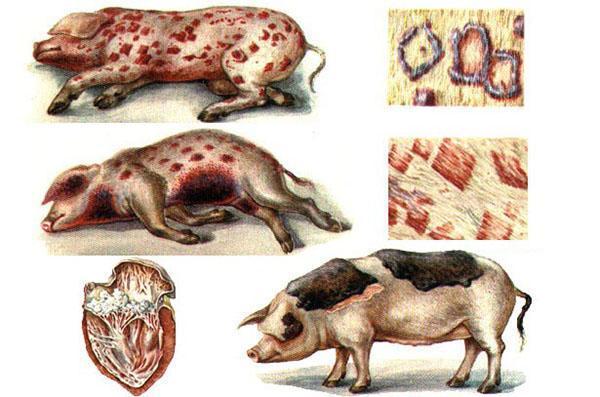 рожа у свиней