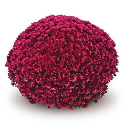 шарообразная хризантема