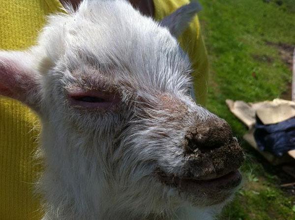 у козы простуда