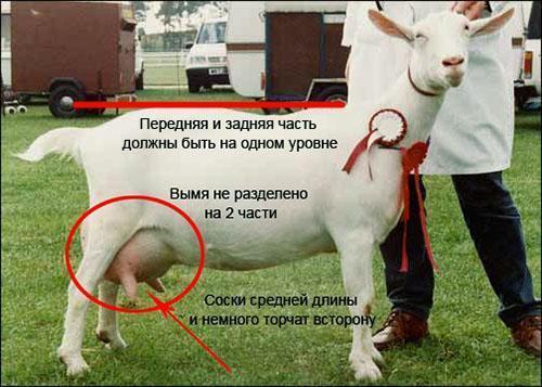 здоровая коза