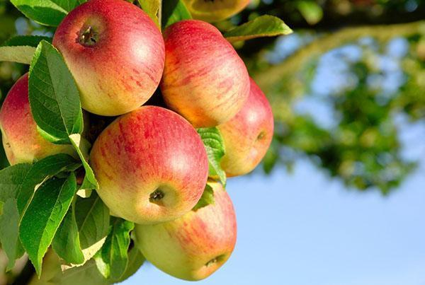 кладезь витаминов - яблоко