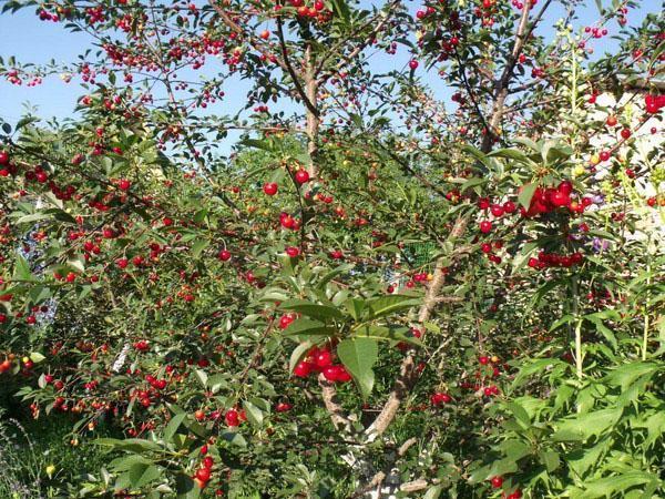 гибридный сорт вишни