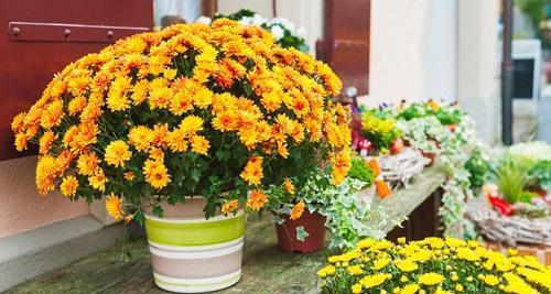 мелкоцветковая индийская хризантема