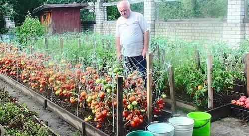 обработка помидор