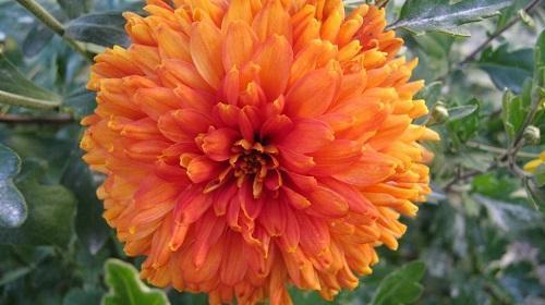 оранжевая хризантема