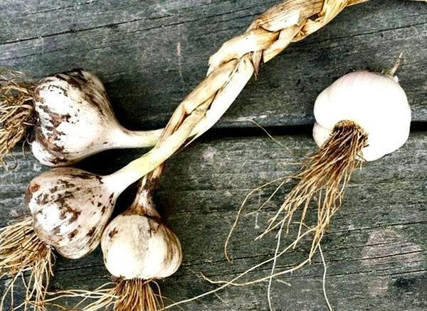 плетем чесночную косу