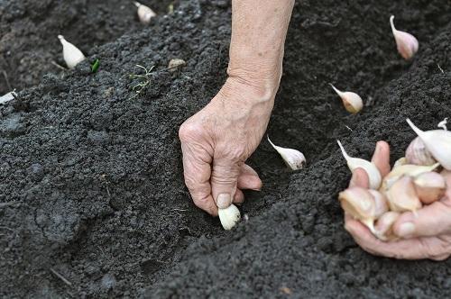 подзимний посев чеснока