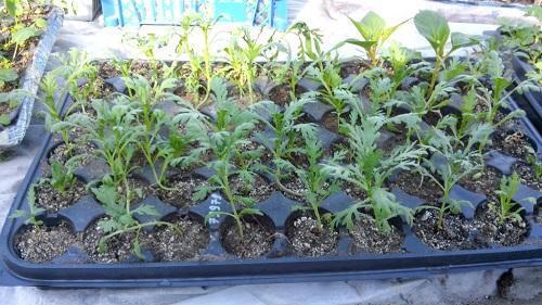 рассада хризантемы