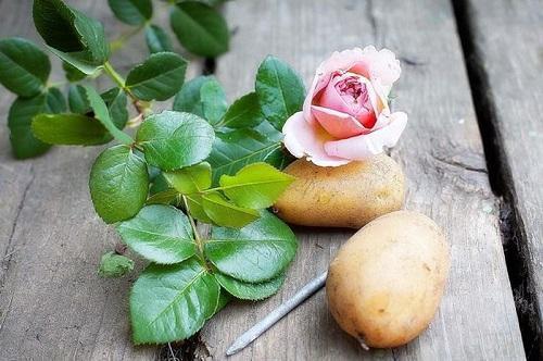 роза и картофель