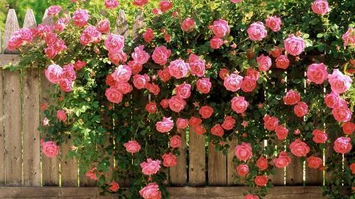 roza-u-zabora.jpg