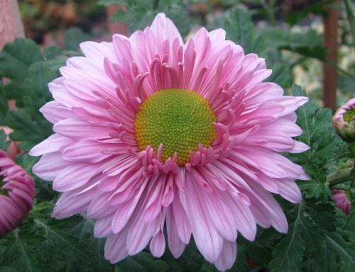 розовая хризантема