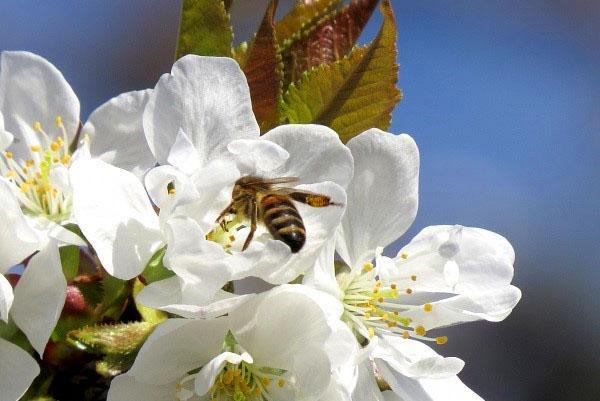 сбор пыльцы