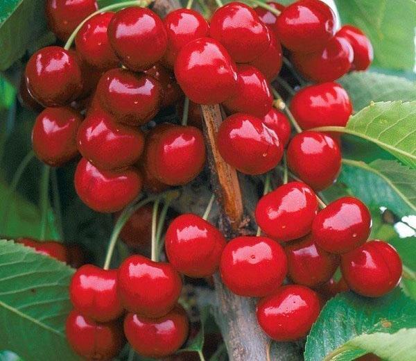 созревание ягоды