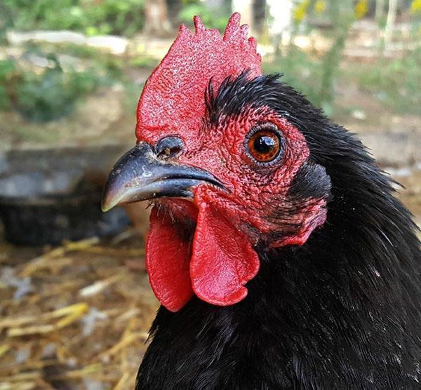 у курицы хороший слух