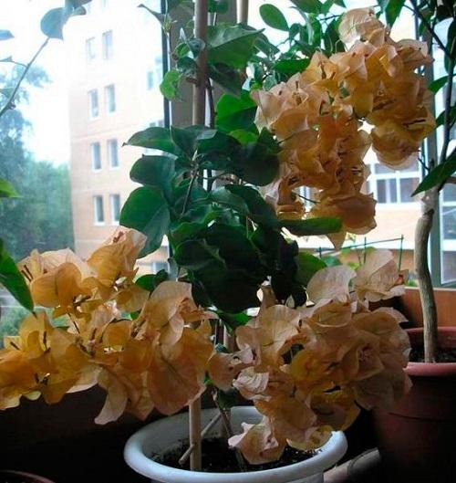 бугенвиллея желтая