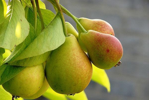 груша в своем саду