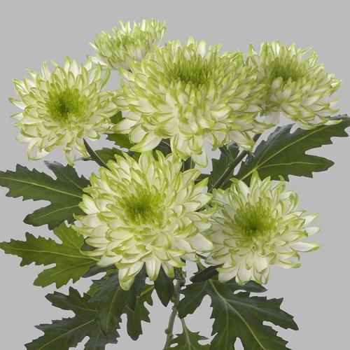 хризантема зембла лайм