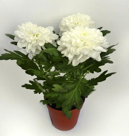 хризантема зембла уайт