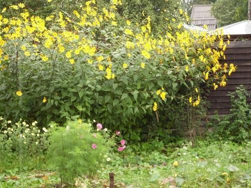 топинамбур в огороде