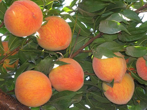южный фрукт - персик
