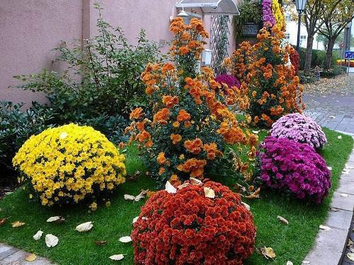 хризантемы на клумбе