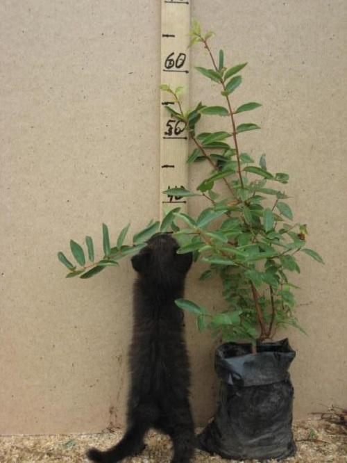 Как сажать жимолость осенью: правила посадки и ухода в открытом грунте, когда посадить съедобную жимолость, обязательно ли соблюдать правила соседства