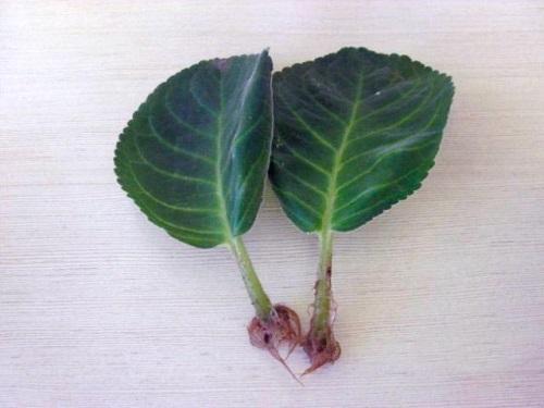 укоренившиеся листья