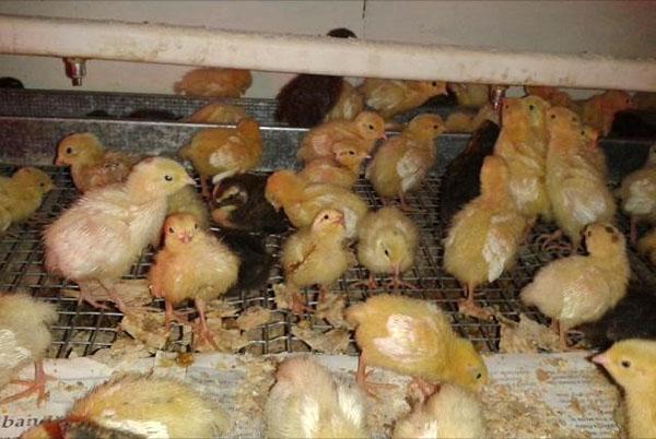цыплята из инкубатора